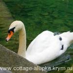 Лебеди в Воронцовском парке